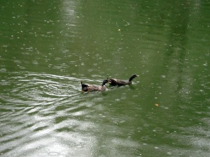 ducks on a greenish pond