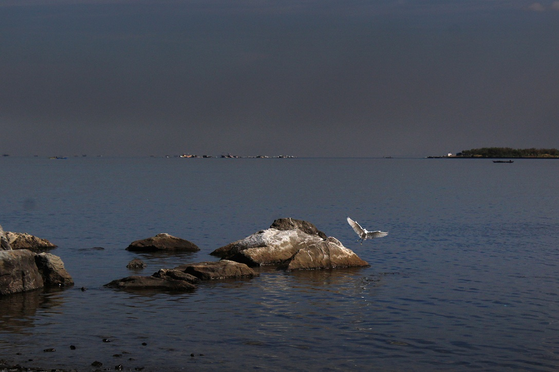 A white egret touches down the rocks of the wetland.
