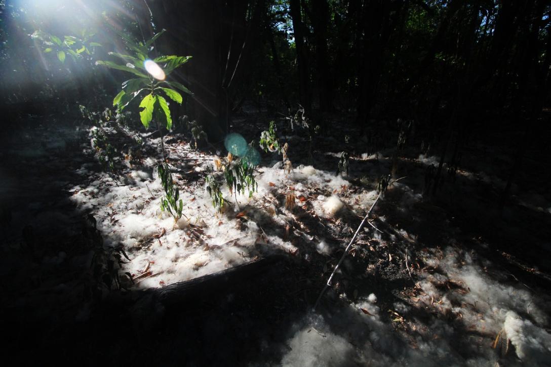 Kapok fibers covering the ground.