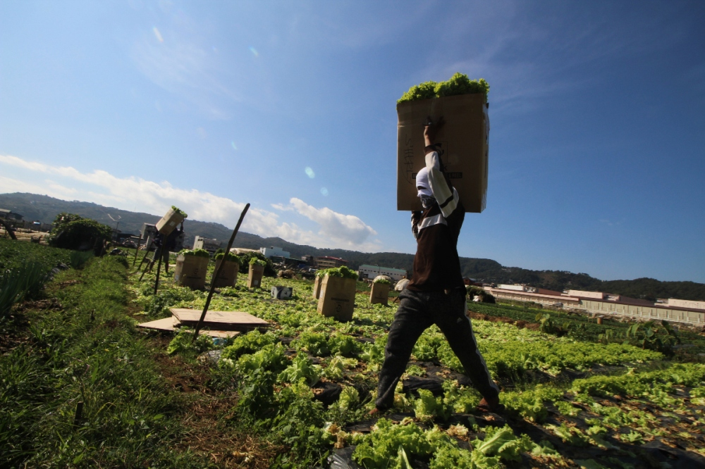 A man carries a box of lettuce as harvest