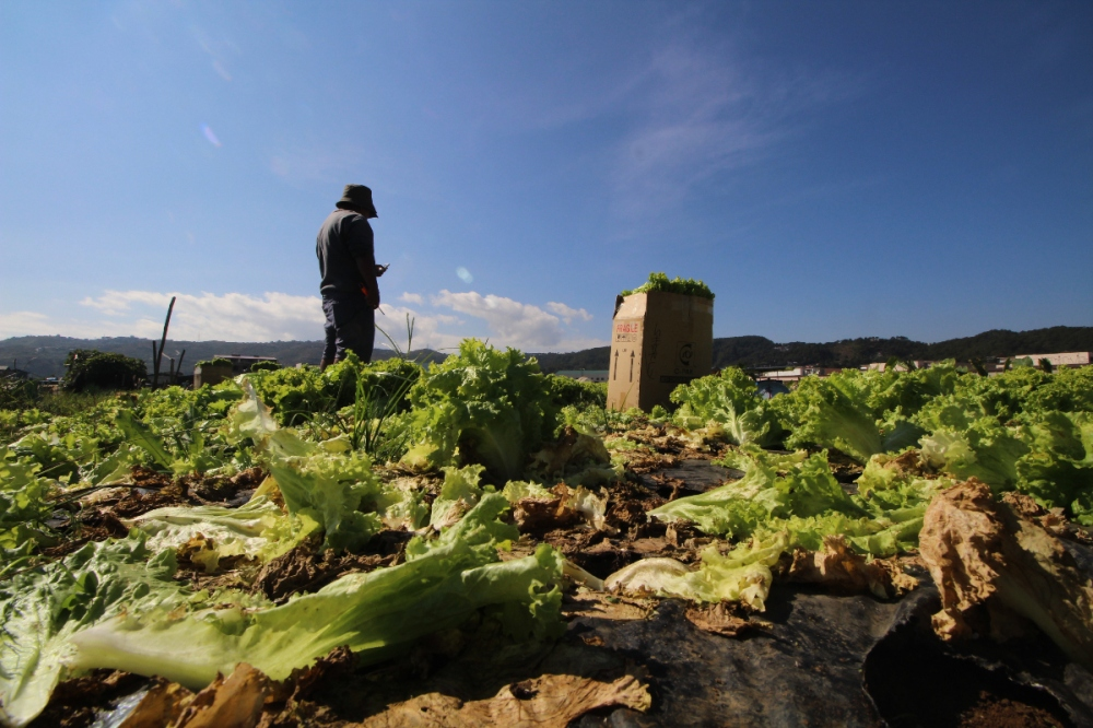 A man stands over vegetable crops